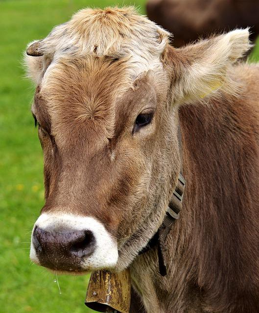 お腹を空かす牛