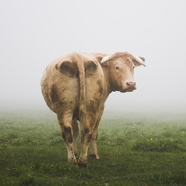 少年を待つ牛