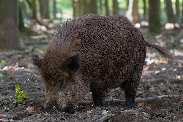 道を案内する猪