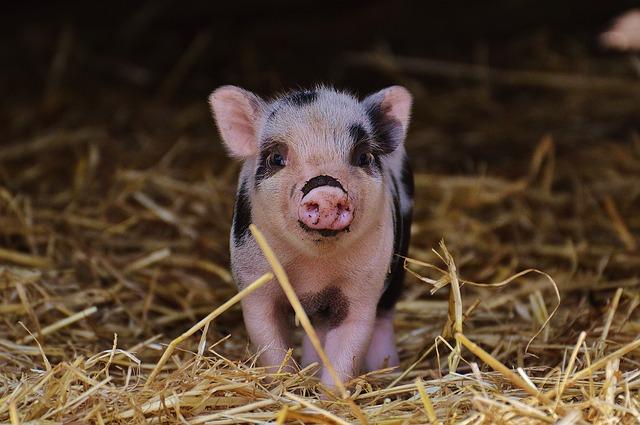自ら死を選んだ豚