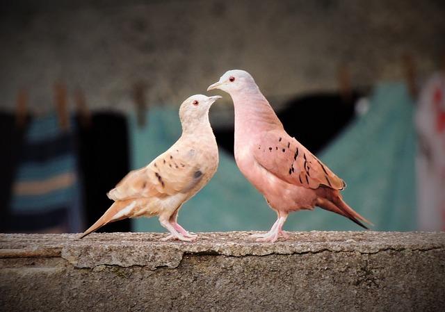 カラスと間違われて殺される鳩