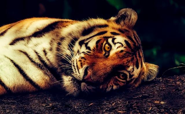 怪我をした虎