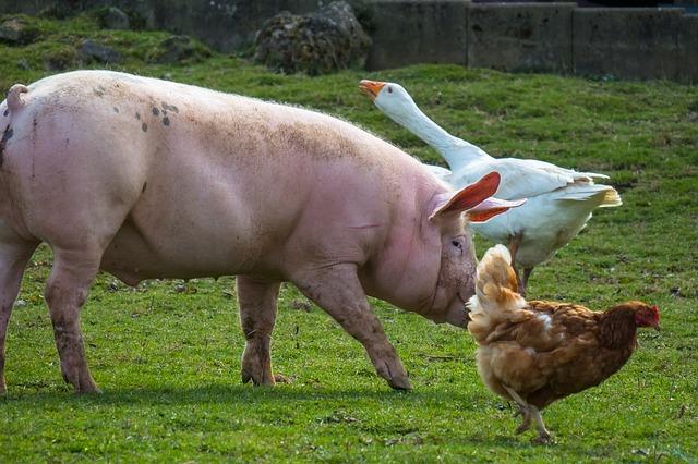 母親の帰りを待つ豚