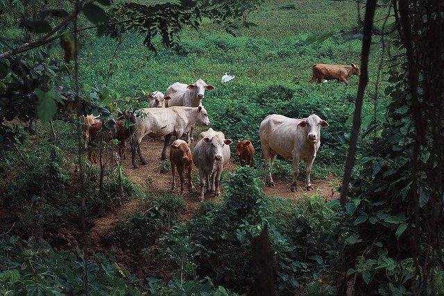 牛の親子ベジタリアン