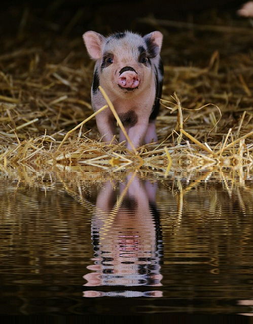 豚の赤ちゃんの能力
