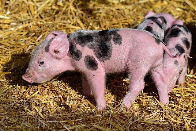 ヴィーガンになるには子豚をかわいがる