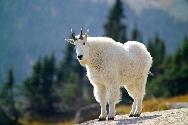 神と暮らす山羊