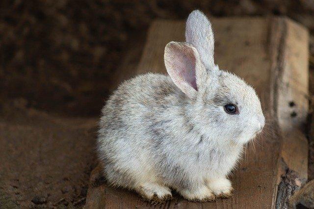 ウサギとウサギの赤ちゃん