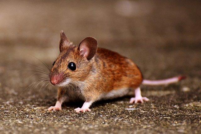 自殺と戦うネズミ