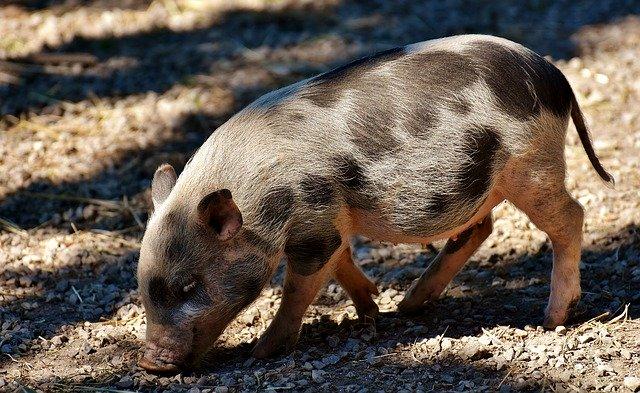 豚が天国へ